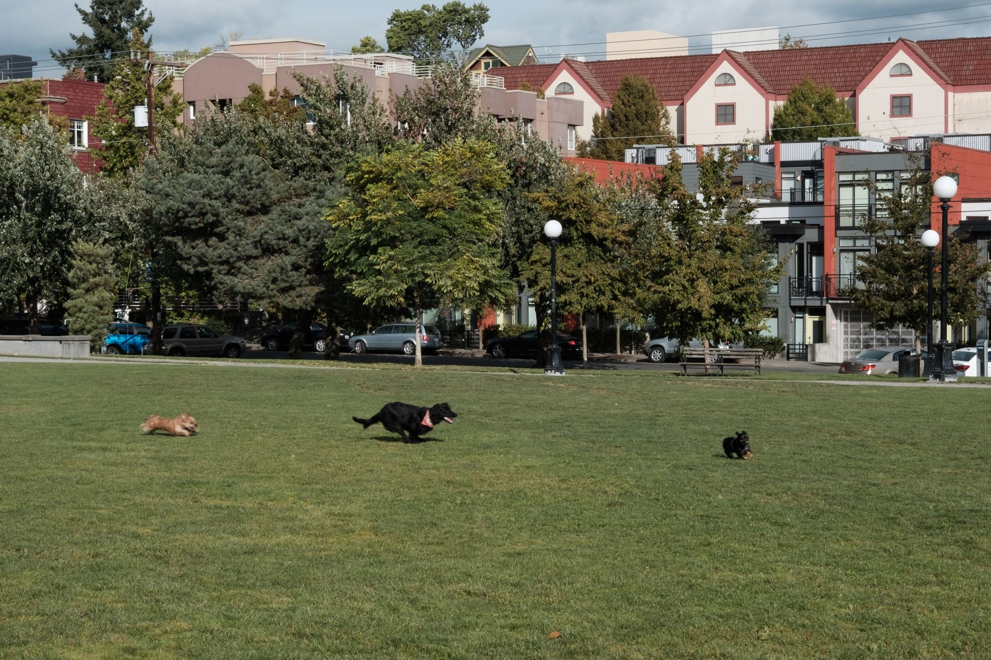 Dogs chase one another in Cal Anderson Park Seattle
